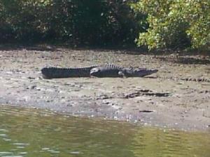 Crocodile North Queensland